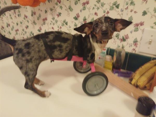 bubbles-weinerdog-3d-printed-wheelchair-2-1